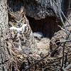 Great Horned Owl<br /> <br /> Mother and owlet doze in the late afternoon sun.<br /> <br /> Lancaster County, PA