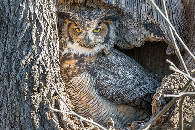 Great Horned Owl  Don't even think about messing with my nest!  Lancaster County, PA