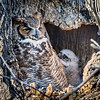 Great Horned Owl<br /> <br /> Hey Mom, can I go out and play?<br /> <br /> Lancaster County, PA