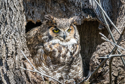 Great Horned Owl  The two owlets are only two weeks old, so the female spends most of the day guarding the nest.  Lancaster County, PA
