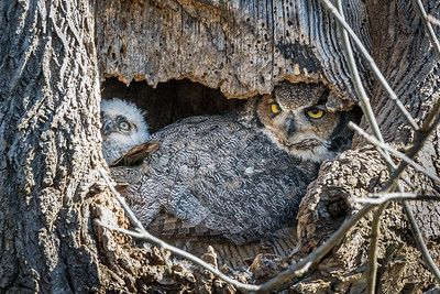 Great Horned Owl  The smaller owlet snuggles next to Mom, and peers out of the nest.  Lancaster County, PA