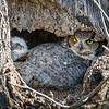 Great Horned Owl<br /> <br /> The smaller owlet snuggles next to Mom, and peers out of the nest.<br /> <br /> Lancaster County, PA