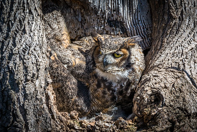 Great Horned Owl  The female owl perches at the front of the nest on a late Winter afternoon, two weeks after hatching two eggs.  Lancaster County, PA