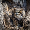 Great Horned Owl<br /> <br /> The female owl perches at the front of the nest on a late Winter afternoon, two weeks after hatching two eggs.<br /> <br /> Lancaster County, PA