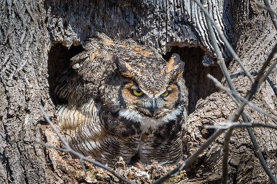 Great Horned Owl  The female owl fiercely guards the nest.  Lancaster County, PA