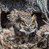 Great Horned Owl<br /> <br /> The female owl fiercely guards the nest.<br /> <br /> Lancaster County, PA