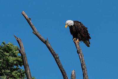 Bald Eagle  Lancaster County, PA