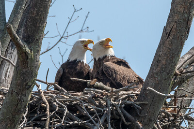 Bald Eagle Nest The adults warn off an intruding Osprey flying high over the nest.  Lancaster County, PA - April, 2019