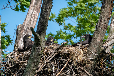 Bald Eagle Triplets  Lancaster County, PA - May, 2020