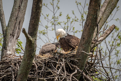 Bald Eagle Nest  Lancaster County, PA - May, 2019