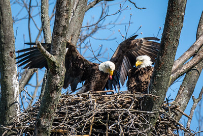 Bald Eagle Nest One adult is continuously in the nest while the other hunts for food.  Lancaster County, PA - April, 2018