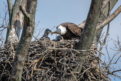 Bald Eagle Nest The adult tears off bits of food to feed the eaglets.  Lancaster County, PA - April, 2018