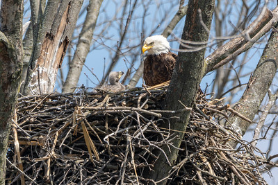 Bald Eagle Nest The eaglet looks expectantly to the adult for food.  Lancaster County, PA  - April, 2018