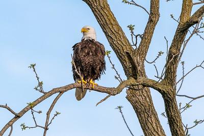Bald Eagle Nest  Lancaster County, PA - April, 2019