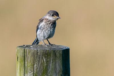 Bluebird  - juvenile  Lancaster County, PA