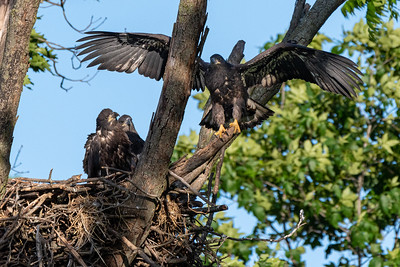 """Bald Eagle """"Branching"""" activity begins in June as a prelude to first flight.  Lancaster County, PA"""