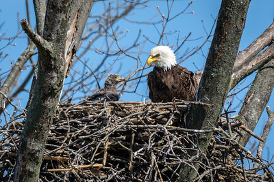 Bald Eagle Nest The eaglet begins to develop feathers.  Lancaster County, PA - April, 2018