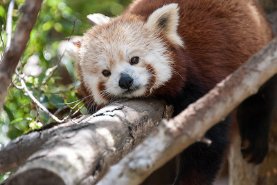 Red Panda  Red Panda fossils have been discovered in North America that date as far back as 5 million years.   Today, however, Red Pandas are only found in small, isolated mountain territories above 4,000 feet in China, Nepal, India, Bhutan, and Burma.  San Diego Zoo, California