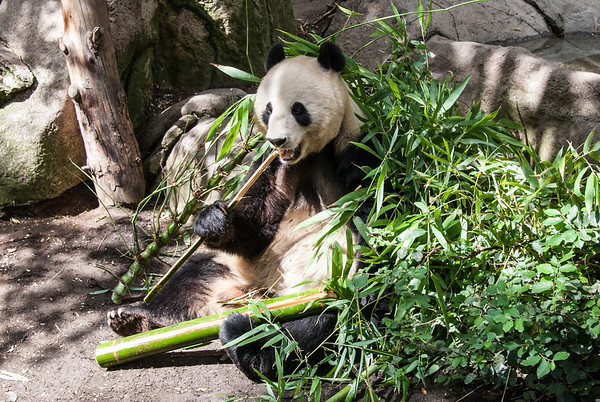 Bai Yun (White Cloud)  Bai Yun is a 22 year old adult female Giant Panda.  She is on loan to the San Diego Zoo from China.  Here she munches on her favorite food, bamboo.  San Diego Zoo, California