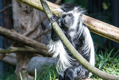 Colobus Monkey  San Diego Zoo, California