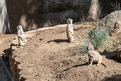Meerkat  Meerkats are members of the mongoose family, and are native to southern Africa's Kalahari Desert.  San Diego Zoo, California