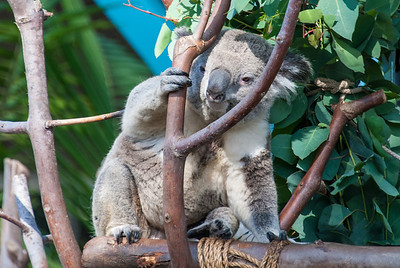 Koala  Koalas are native to southeastern and eastern Australia, living in forests of eucalyptus trees.  They are members of a group of pouched animals called marsupials.  San Diego Zoo, California