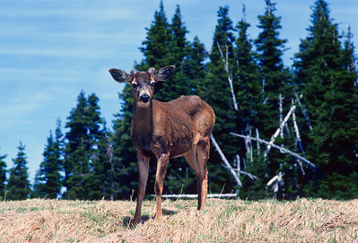 Black-tailed deer  Hurricane Rridge Olympic National Park, Washington State