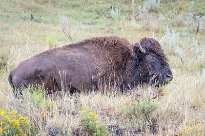 American Bison  Teddy Roosevelt National Park Medora, North Dakota