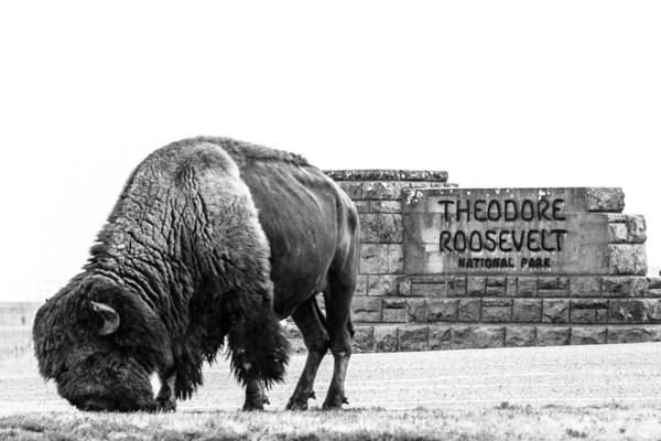 American Bison  Teddy Roosevelt National Park Medora, North Dakota