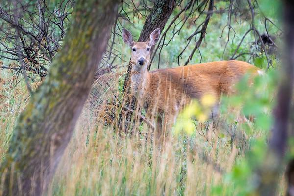 Mule Deer  Teddy Roosevelt National Park Medora, North Dakota