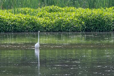 Great Egret  Wildwood Park Harrisburg, PA