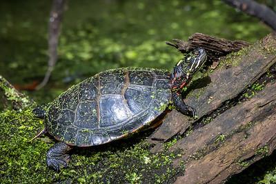Painted Turtle  Wildwood Park Harrisburg, PA