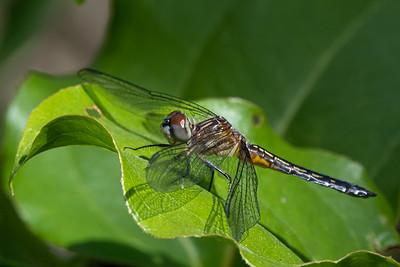 Dragon Fly  Wildwood Park Harrisburg, PA