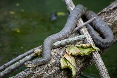 Water Snake  Wildwood Park Harrisburg, PA