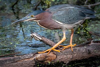 Green Heron  Wildwood Park Harrisburg, PA