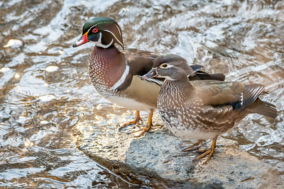 Wood Duck drake and hen  Wissahickon Vally Park Philadelphia, PA