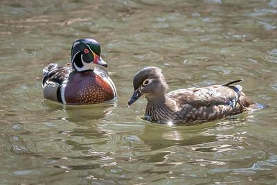 Wood Duck drake and hen  Wissahickon Vally Park Philadelphia, PA