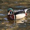 Wood Duck<br /> <br /> Wissahickon Valley Park<br /> Philadelphia, PA