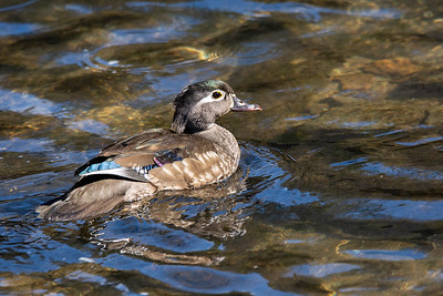 Wood Duck  Wissahickon Valley Park Philadelphia, PA