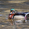 Wood Duck<br /> <br /> Wissahickon Valley Park<br /> Philadelphia, PA