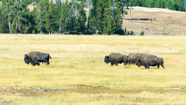 Herd of American Bison  Yellowstone National Park