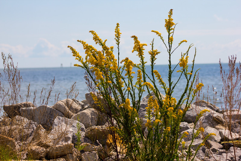 I look  forward to the show the goldenrods put on each Fall here in South Alabama. I took this image along the Shell Belt Rd. in Bayou La Batre in October of 2013.