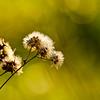 Dry Dandelion