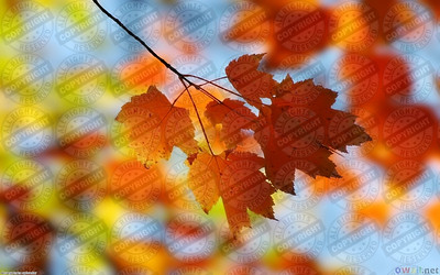 fall_maple_1440x900