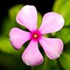 Vinca Flower in Focus