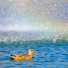A Duck and Rainbow Shower