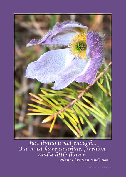 Pasque Flower