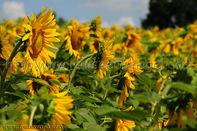 SunflowersatPM_3814wp
