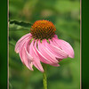 pink coneflower cone flower
