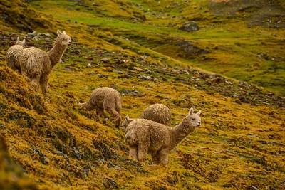 Alpacas in the Peruvian Andes